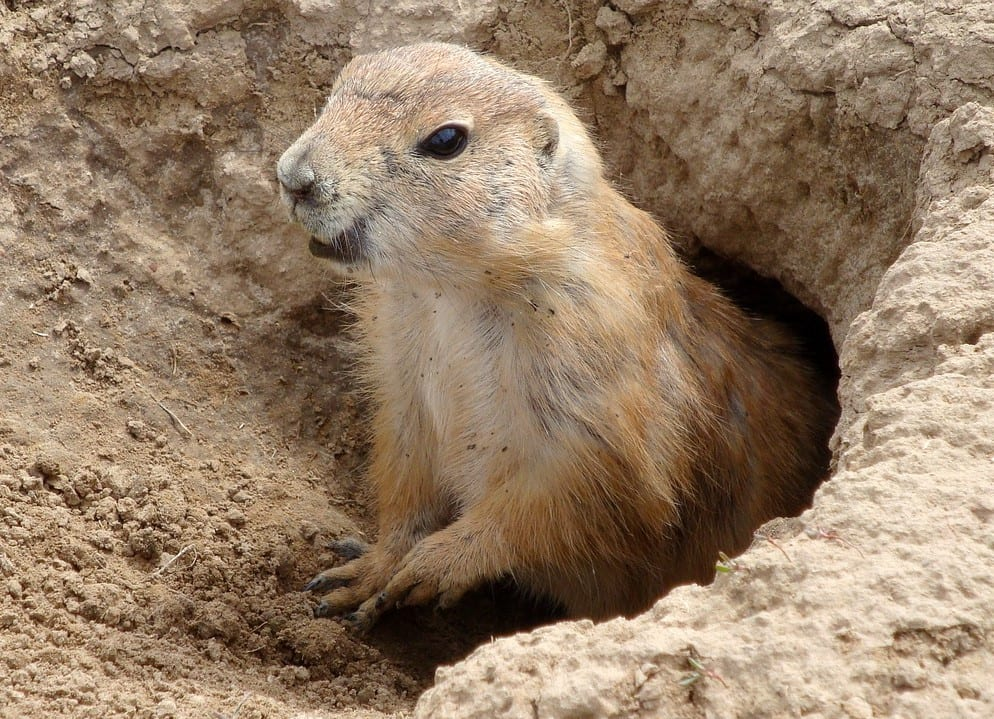 Groundhog bosmarmot Zorginstituut